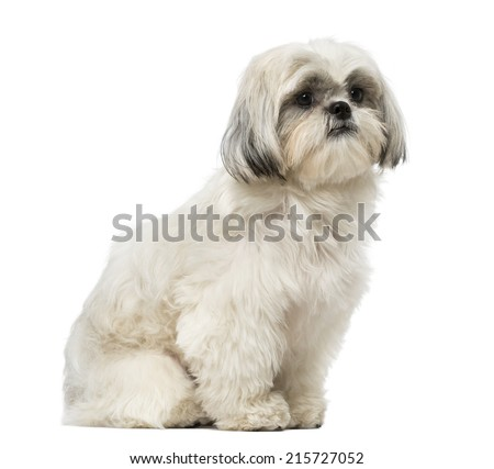 Shih Tzu (18 months old) - stock photo