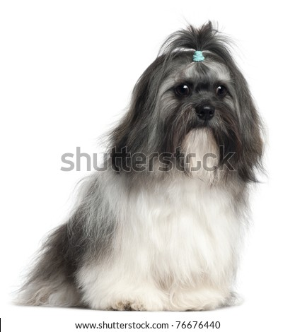 Shih Tzu, 9 months old, sitting in front of white background - stock photo