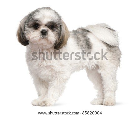 Shih Tzu, 8 months old, standing in front of white background - stock photo
