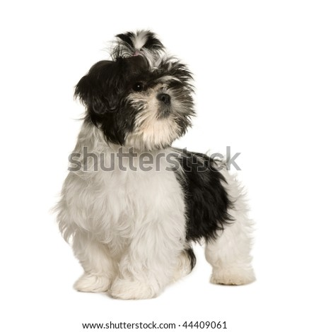 Shih Tzu, 3 months old, standing in front of white background, studio shot - stock photo