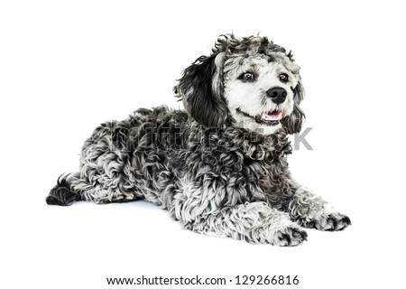 Shih tzu poodle mixed laying on white background - stock photo