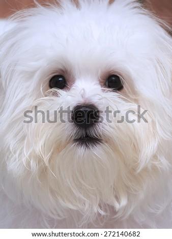 Shih tzu puppy breed tiny dog , age 6 month, playfulness, loveliness - stock photo