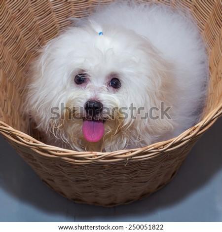Shih tzu puppy breed tiny dog in basket - stock photo