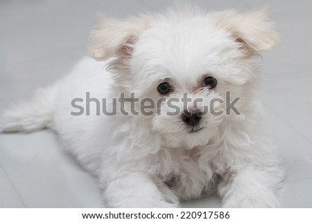 Shih-tzu puppy breed tiny dog , playfulness , loveliness