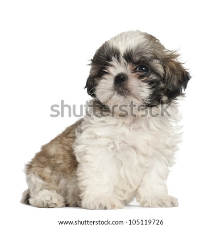 Shih Tzu puppy, 2 months old, sitting against white background - stock photo