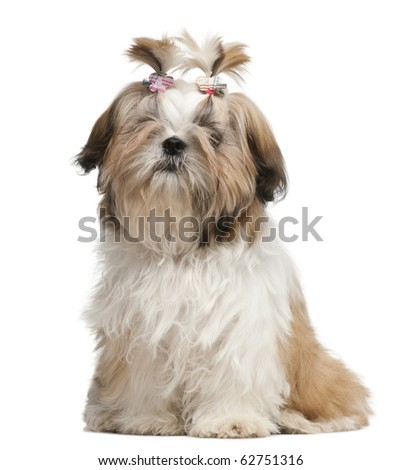 Shih Tzu puppy, 5 months old, sitting in front of white background - stock photo