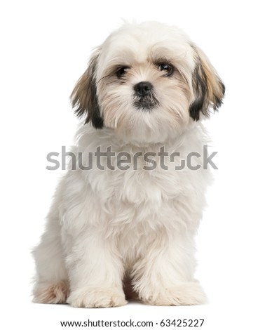 Shih Tzu puppy, 6 months old, sitting in front of white background - stock photo