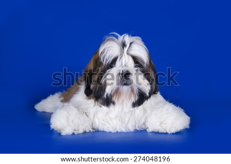 Shih Tzu puppy on a blue background isolated - stock photo