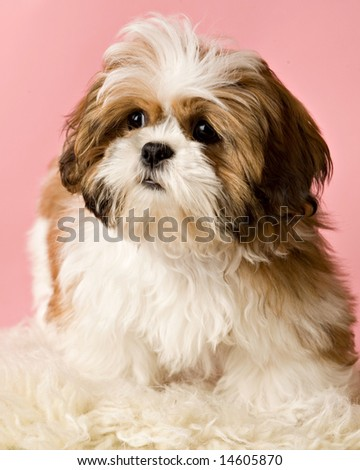 Shih-tzu puppy on pink - stock photo