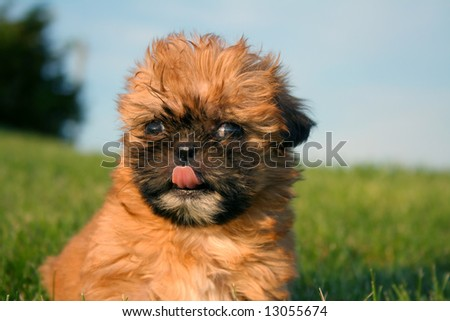 Shih Tzu puppy outside with tongue sticking out. - stock photo