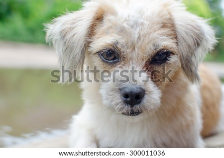 Shih-tzu puppy posing isolated
