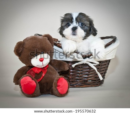 Shih-Tzu puppy sitting in a basket with a cute little tedy bear beside him. - stock photo