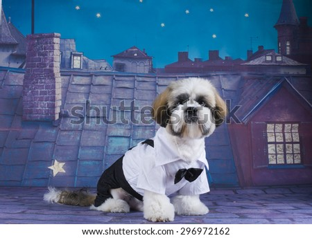 Shih Tzu puppy walking on the roof - stock photo