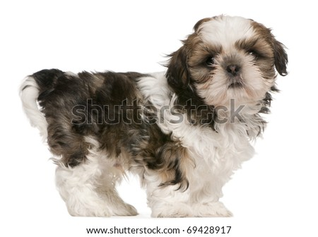 Shih Tzu puppy, 9 weeks old, standing in front of white background - stock photo