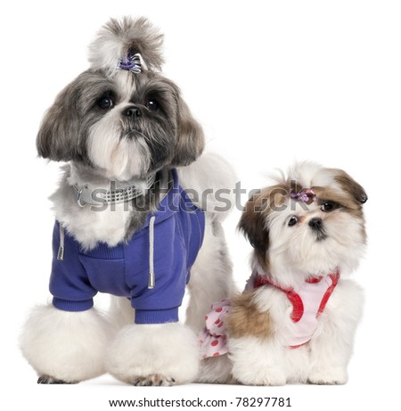Shih Tzu's dressed up, 2 years old and 3 months old, in front of white background - stock photo