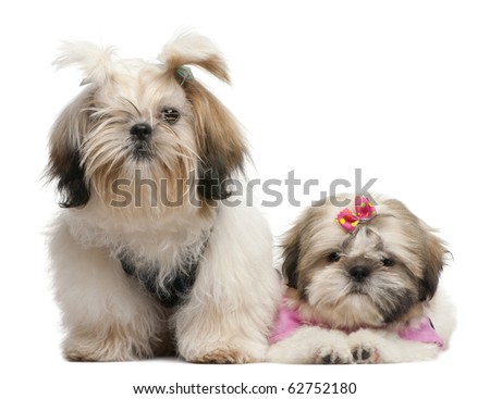 Shih Tzu's, 7 months old and 3 months old, dressed up and sitting in front of white background - stock photo