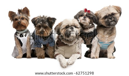 Shih Tzu's, 3 years old, 2 years old, 8 months old, and Yorkshire Terriers, 2 years old and 6 months old, dressed up and sitting in front of white background - stock photo