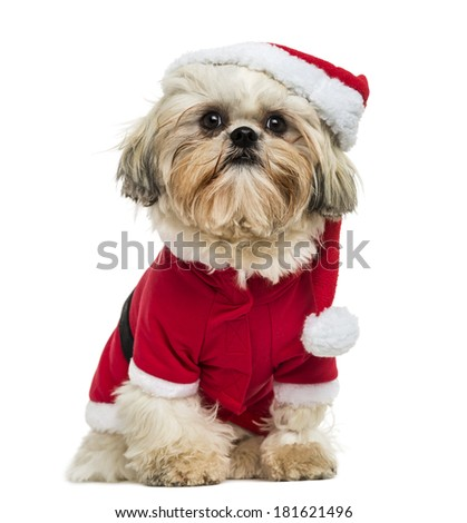 Shih Tzu wearing a christmas disguise, sitting, 10 months old, isolated on white