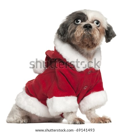 Shih Tzu wearing Santa outfit, 12 and a half years old, sitting in front of white background - stock photo