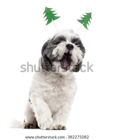Shih Tzu with christmas decorations sitting and yawning, isolated on white (2 years old)