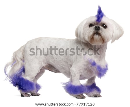 Shih Tzu with purple mohawk, 2 years old, standing in front of white background - stock photo