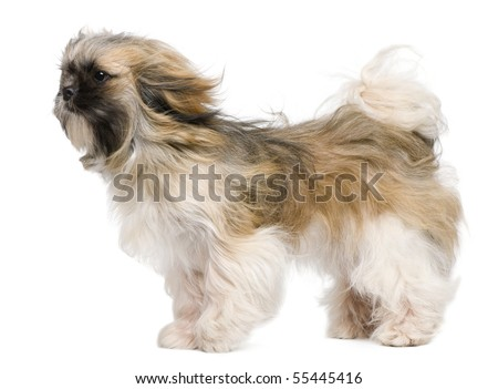 Shih Tzu, 1 year old, windswept and standing against white background - stock photo