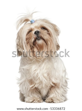 Shih Tzu, 4 years old, in front of white background - stock photo