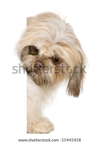 Shih Tzu, 3 years old, peering around white board against white background - stock photo