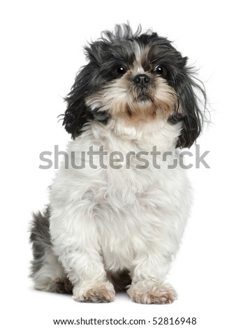 Shih Tzu, 7 years old, sitting in front of white background - stock photo