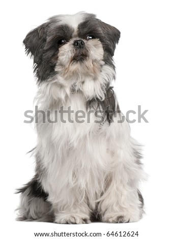 Shih tzu, 3 years old, sitting in front of white background - stock photo
