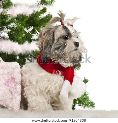 Shih Tzu, 2 years old, sitting with Christmas tree and gifts in front of white background