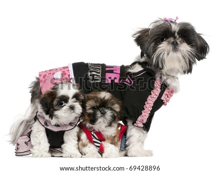 Shih Tzus dressed up in front of white background - stock photo