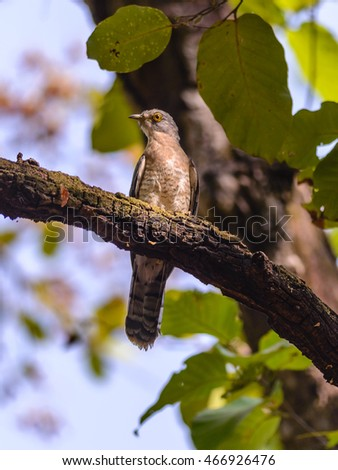 Shikra bird (Accipiter badius)perching on tree in a forest.