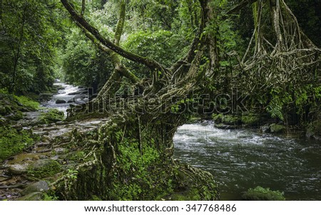 Shillong, Meghalaya, India. A living roots bridge over a river in deep forest surround by flora on a dull, overcast day near the village of Riwai, Shillong, Meghalaya, India.