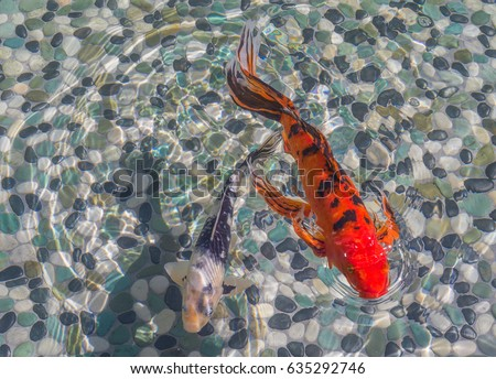 Koi stock images royalty free images vectors shutterstock for Red and white koi fish