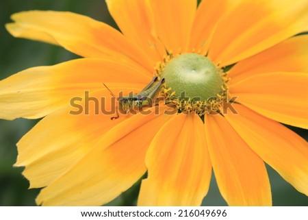 Shining Coneflower and Grasshopper,a grasshopper on the blooming yellow with orange shining coneflower,Cutleaf Coneflower,Black- eyed Susan,Gloriosa Daisy,Yellow Ox-eye Daisy  - stock photo