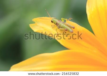 Shining Coneflower and Grasshopper,a grasshopper on the blooming yellow with orange shining coneflower,Cutleaf Coneflower,Black-eyed Susan,Gloriosa Daisy,Yellow Ox-eye Daisy - stock photo