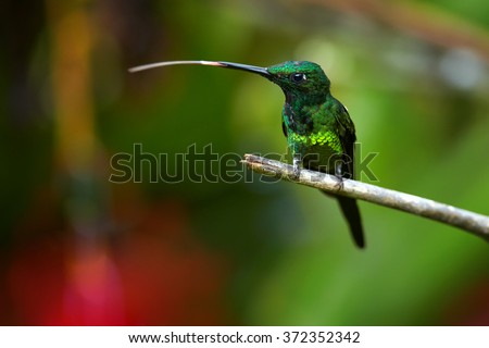 Shining green hummingbird Empress Brilliant Heliodoxa imperatrix,male with long stuck out tongue, perched on mossy twig in rainy day next to red flower.  Blurred distant green forest background.  - stock photo