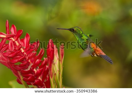 Shining green hummingbird with orange and blue tail Copper-rumped Hummingbird Amazilia tobaci hovering over red flower. Colorful distant green and orenge background.  - stock photo