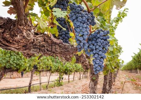 Shiraz grapes on vine wide angle scene - stock photo