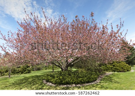 Shirotae oriental cherry tree with blossoms. - stock photo