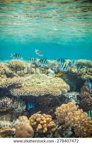 Shoal of abudefduf.Underwater landscape. Red sea coral reef.  Different corals background. - stock photo