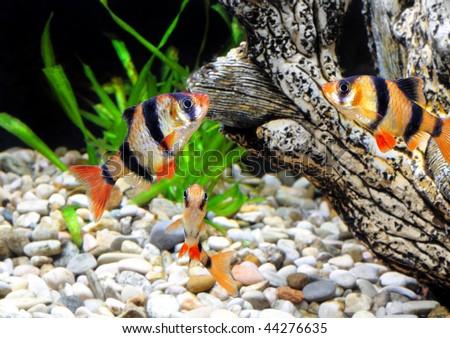 Shoal of   aquarium fish-Barbus-five-banded barb. (Barbus pentazona) - stock photo