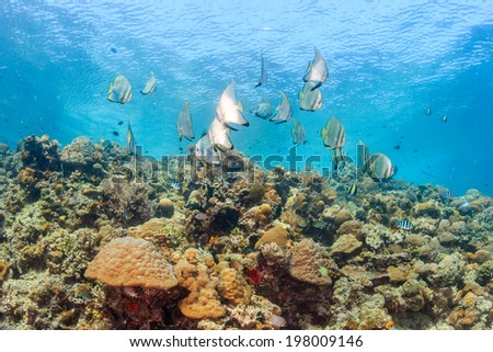 Shoal of batfish and other reef fish on a shallow coral reef - stock photo