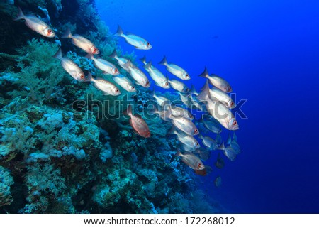Shoal of bigeye perches in the tropical coral reef of the red sea  - stock photo