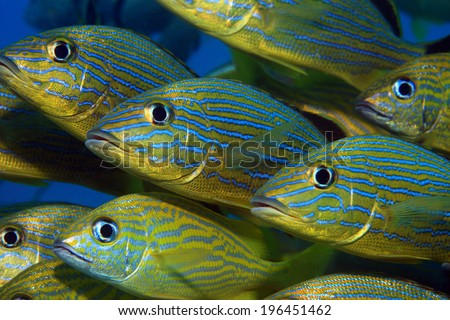 Shoal of blue striped grunts (Haemulon sciurus) in the caribbean sea - stock photo