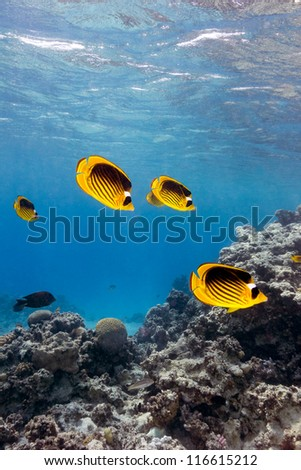 Shoal of Butterfly Fish in shallow water on a coral reef - stock photo