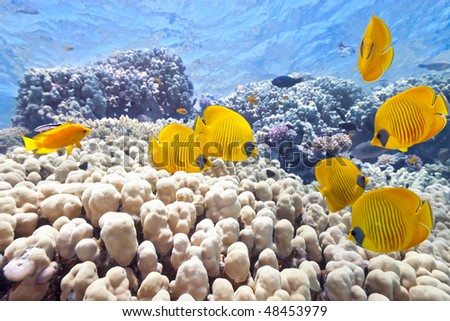 Shoal of butterfly fish on the coral reef - stock photo