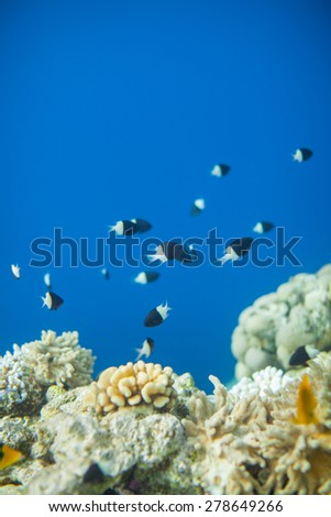 Shoal of Chromis dimidiata swimming near corals, Red Sea coral reef, Egypt. Clean morning water - stock photo