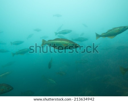 Shoal of fish, atlantic ocean, Ireland - stock photo
